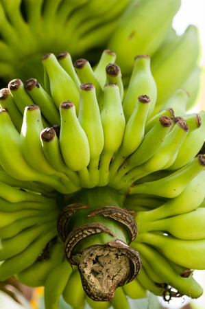 buch: Buch of bananas ripening on a tree