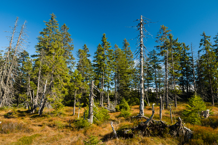 Live and dry spruce trees in peat with dry grass in untouched wild nature