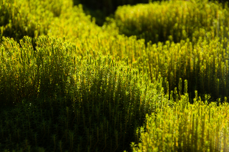 Detail of lush green moss in bright warm sunlight