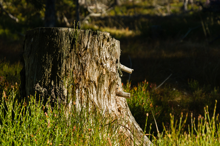 Sunlit detail of a dry dead tree stump in a forrest
