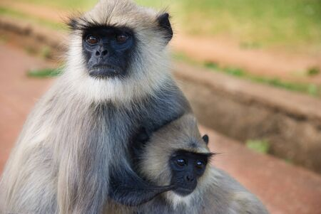 Gray langur mother with baby.