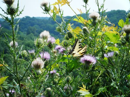 Yellow Swallowtail Butterfly on Purple Thistle