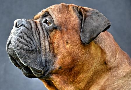 pure bred: pure bred bullmastiff dog portrait close-up on dark background