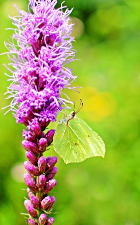 common brimstone butterfly sitting on a purple flower photo