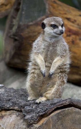 living thing: South African Meerkat