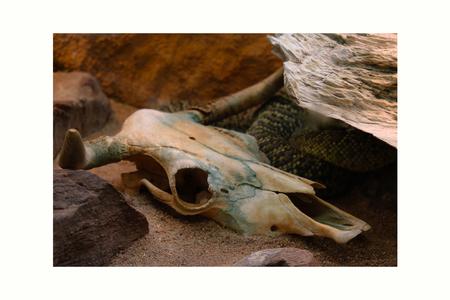 The snake skeleton head skeleton death snake bone skull background animal black white isolated Stock Photo