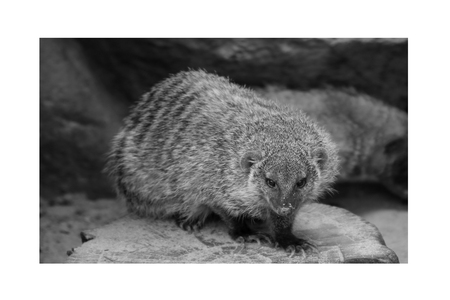 Banded mongoose animal black and white isolated mammal africa nature carnivore Stock Photo