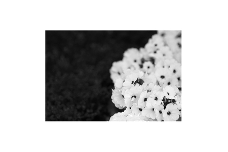 snapdragon: Petunias, yellow daffodil, pansies, snapdragon and marigold, beautiful flower green grass background black white