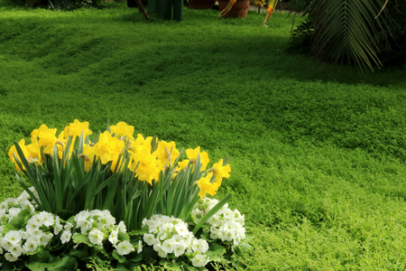 Petunias, Yellow daffodil, pansies, snapdragon and marigold, beautiful flower green grass background black white