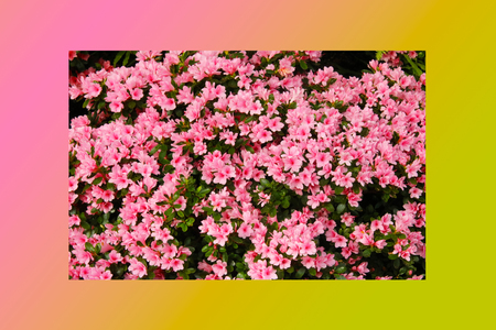 Petunias pink rose, Yellow daffodil, pansies, snapdragon and marigold, beautiful flower green grass background black white 版權商用圖片