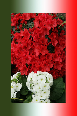 Azalea red, petunias, yellow daffodil, pansies, snapdragon and marigold, beautiful flower green grass background black white
