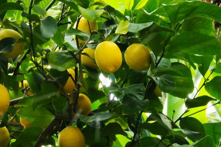 Fresh lemon fruit tree nature
