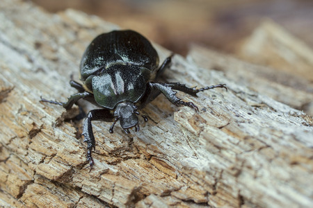 IUCN Red List specie Hermit beetle Osmoderma eremita on rotten wood.