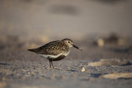 Dunlin on the sandy beach. Imagens