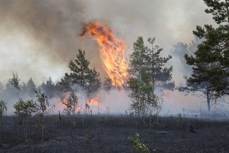 forest fire: Fire in pine tree forest. Stock Photo