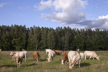 Organic farming cattle herd.