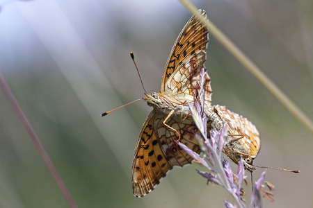 Copulation of Heath Fritillary (Melitaea athalia)