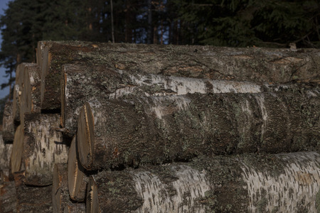 Pile of birch timber Stock Photo