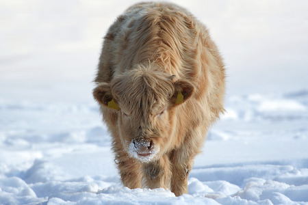 Cow in the snow. Young cow with winter fur in sunny snow, around Christmas. This animal is crossbreed between Charolais and Highland cattle. photo