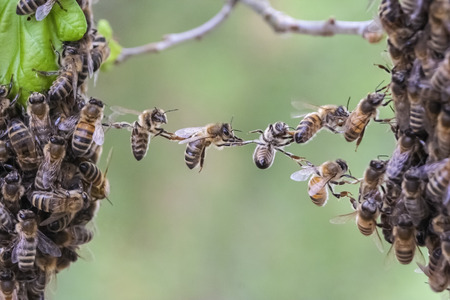 comunidad: Abejas haciendo un puente para unir dos partes enjambre de abejas en una. La imagen es una metáfora de situaciones de negocios o de la comunidad tales como el trabajo en equipo colaboración compañía cooperación unidad fusión cerrar la brecha.
