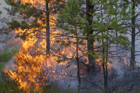 Pine forest fire. Appropriate to visualize wildfires or prescribed burning of forest in Europe and Asia:UK, Scandinavia, Russia, Baltic states, mountain forest, woods of conifers in any country.