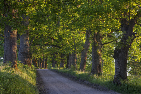 Oak tree alley along country road at sunset. Stock Photo