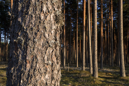 Pine stem in front on pine forest background. Reklamní fotografie