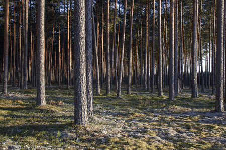 Pine forest in sunsets. Image characteristic for Scots pine forests on sandy soils in northern Europe: Sweden, Finland, Baltic states etc. Forest stand structure is typical for commercial forests.