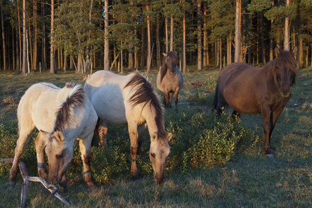 Wild horse herd on pasture in late sunset light. Four Konik breed horses in foreground.