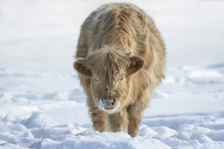 Christmas cow in sunny snow. Free range organic farming cattle in warm winter fur. Animal is crossbreed of Highland and Charolais cattle. You can put Christmas hat on it, make Christmas greetings card