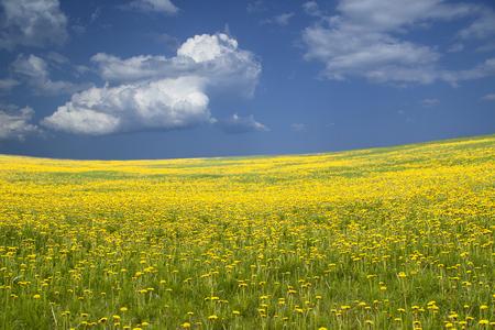 campo de flores: Amplio campo de flores amarillas y el cielo azul. El campo de dientes de león. Imagen para el fondo.