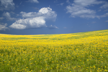 dandelion field: Wide field with yellow flowers and blue sky. Field of dandelions. Image for background. Stock Photo