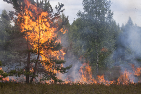 scots pine: Pine crown in fire flames. Forest fire. Appropriate to visualize wildfires or prescribed burning.