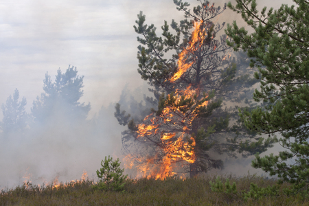 scots pine: Young pine in flames of fire. Forest fire. Appropriate to visualize wildfires or prescribed burning.