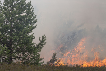 scots pine: Pine forest and heath in forest fire. Appropriate to visualize wildfires or prescribed burning.