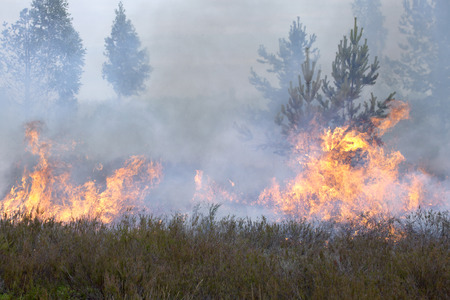 Forest and heath in fire. Appropriate to visualize wildfires or prescribed burning. Stock Photo