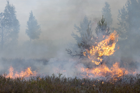 scots pine: Forest fire. Appropriate to visualize wildfires or prescribed burning. Stock Photo