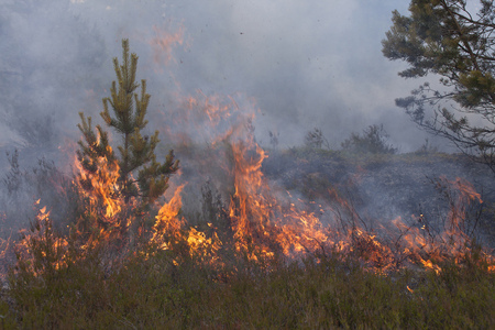 scots pine: Young pine in flames of fire. Stock Photo