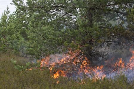 under fire: fuego de la tierra bajo el pino. Apropiada para visualizar los incendios forestales o la quema prescrita.