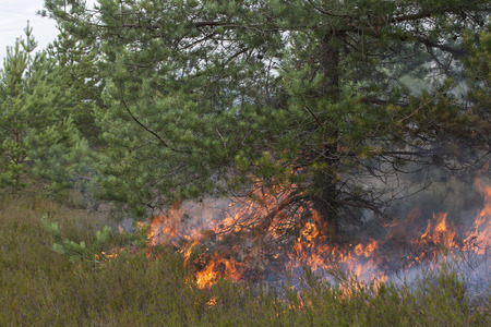 prescribed: Ground fire under pine. Appropriate to visualize wildfires or prescribed burning. Stock Photo
