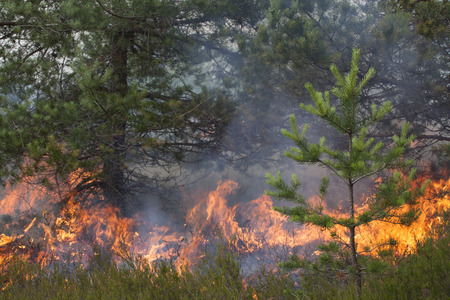 wood and fire: Pine wood fire. Appropriate to visualize wildfires or prescribed burning.