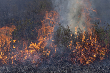 forest fire: Forest fire. Close up image of heather in fire.