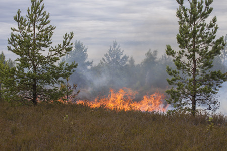 scots pine: Heather in fire. Appropriate to visualize wildfires or prescribed burning.