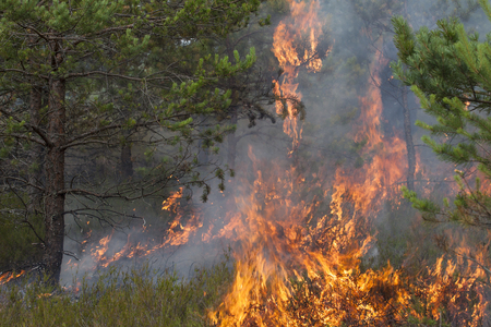 Young pine in flames of fire. Forest fire. Appropriate to visualize wildfires or prescribed burning.