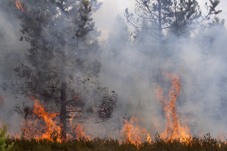 wood and fire: Flames and smoke of forest fire. Pine wood fire. Stock Photo