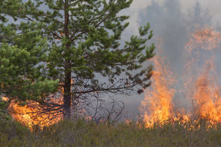 ecosystems: Pine wood and heather in fire. Stock Photo