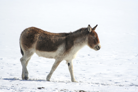 Tibetan wild ass Equus kiang. Tibetan wild ass kiang, khiang in winter. Stock Photo