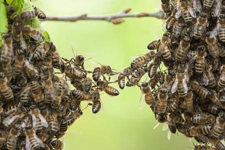 Las abejas de la unidad dos partes del enjambre de abejas. Foto de archivo
