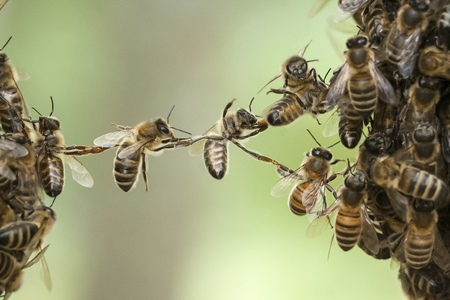abejas: Las abejas puente de dos partes de enjambre de abejas.