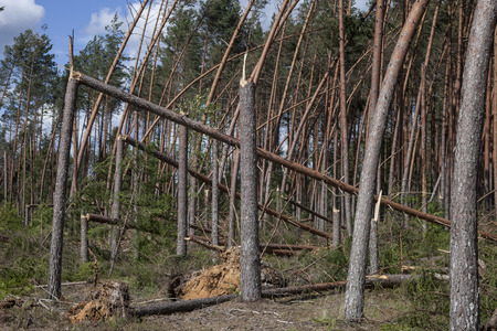 storm damage: Pine forest after storm. Forest characteristic for pine forests of northern Europe: Sweden, Finland, Baltic states etc. and Russia. Fallen trees, storm damage. Windfall.